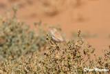 Sterpazzola del deserto (Sylvia deserti - African Desert Warbler)