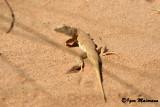Acanthodactylus sp. (longipes o dumerili)