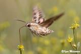 Hyles livornica - Striped Hawkmoth
