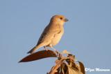 Passero del deserto (Passer simplex - Desert Sparrow)