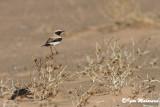 Monachella del deserto (Oenanthe deserti - Desert Wheatear)