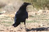 Corvo imperiale africano (African Northern Raven)