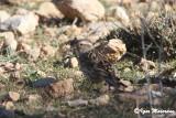 Passera lagia (Petronia petronia - Rock Sparrow)