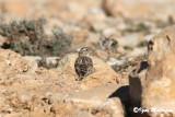 Passera lagia (Petronia petronia - Rock Sparrow
