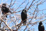 Storno nero (Sturnus unicolor - Spotless Starling)