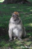 Bertuccia (Macaca sylvanus - Barbary Macaques)