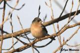 Fringuello ssp africana (Fringilla coelebs africana - African Chaffinch)