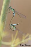 Ischnura graellsii - Iberian Bluetail