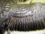 Emperor Goose Wing Detail