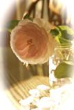 last_rose_of_summer