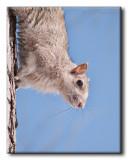 Jeune Écureuil gris
