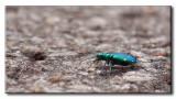 Cicindèle à six points (Cicindela sexguttata)