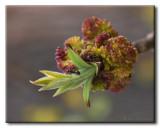 Fourmis sur fleurs de Frêne