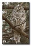Chouette Rayée - Barred Owl - Strix varia