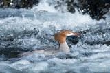Grand harle - Common merganser - Mergus merganser
