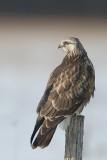 Buse pattue - Rough-legged hawk - Buteo lagopus