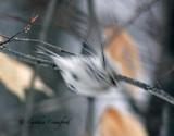 Hoary Redpoll-white under