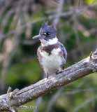 Recent Bird Sightings in Vermont August 2012