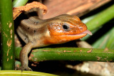 Five Lined Skink - male