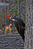 Piliated Woodpecker - female