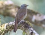 Praktniltava, ssp. sundara, female