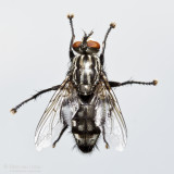 Common flesh fly (Sarcophaga carnaria)