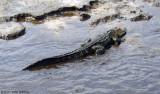 Gator - St. John River