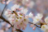 Cherry Blossom Festival, Washington DC, 2011
