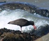 Oystercatcher in surf