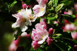 ROOTSTOCK APPLE BLOSSOMS