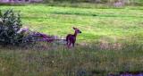 a young deer visiting the Blue Heron Inn