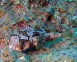 Balloonfish P1010036.jpg