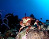 Batwing Coral Crab P1010133.jpg