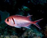 Blackbar Soldierfish P1010104.jpg