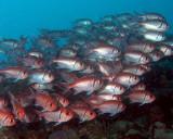 Blackbar Soldierfish P3310068.jpg