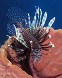 Lionfish P3310099.jpg