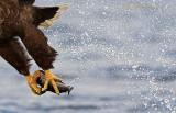 sea_eagle
