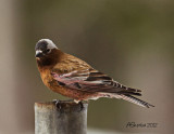 Gray-Crowned-Rosy-Finch.jpg