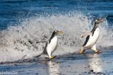 penguins in wave-5696.jpg