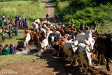 Cows passing thru where the people drink, bathe, wash clothes, etc.