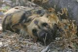 We didn't get to see the wild dogs in action, just taking a nap.