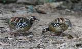 Bar-backed Partridges
