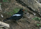Grey-winged Blackbird
