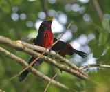 Black-red Broadbills