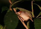 Rufus-tailed Tailorbird