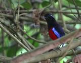 Black-headed Pitta (Black-crimson)