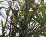 Brown Barbet