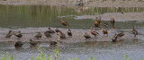 Sunda Teal and Wandering Whistling Ducks