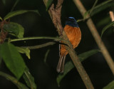Blue-fronted Flycatcher