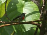 Halmahera Flowerpecker